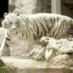 La tigre bianca del bengala (foto omniroma)
