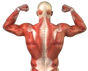 anatomy-back-muscles